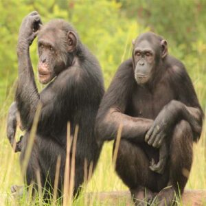 Two chimps sitting at Chimp Eden - Things to do in Nelspruit - Shandon Lodge