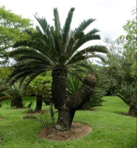Cycads in the Botanical Gardens Nelspruit - Shandon Lodge
