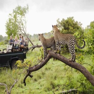 Tourists taking pictures of leopards in the Kruger National Park - Things to do in Nelspruit - Shandon Lodge