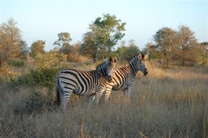 A pair of Zebras in the Kruger National Park - Nelspruit Attractions - Shandon Lodge